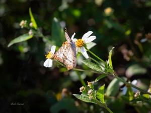 photo of Buckeye Butterfly on Tickweed