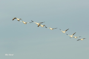 photo of White Pelicans in flight