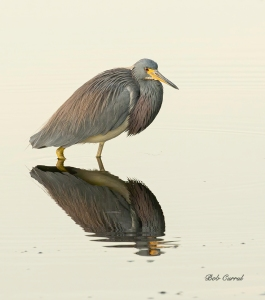 photo of Tricolor Heron wading