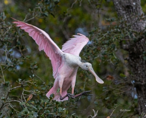 photo of Roseate Spoonbill landing.