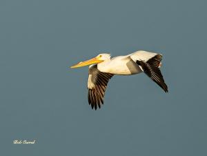 photo of White Pelican in flight
