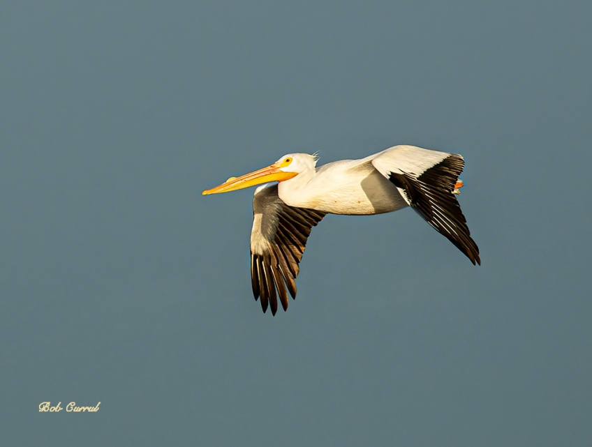 photo of White Pelican in flight