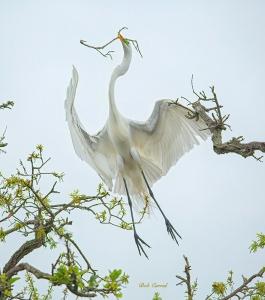 photo of Great Egret Overflight