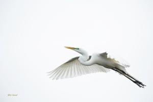 photo of Great Egreat in Flight