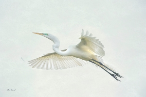 photo of Great Egret Flight