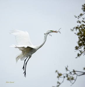 photo of Great Egret with Twig