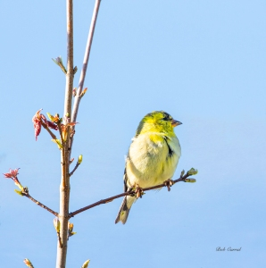 photo of Finch in Tree