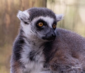 photo of Ring Tailed Lemur