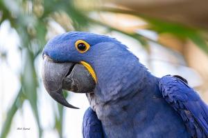 photo of Hyacinth Macaw