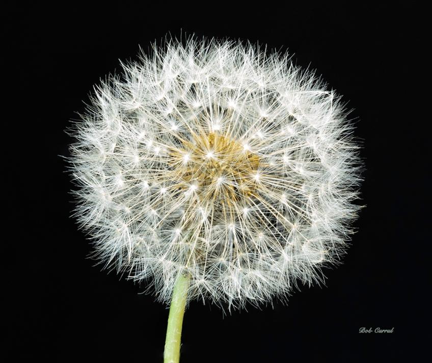 Photo of Dandelion