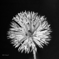 Macro Photo of Tasel Flower at 1.3X in Black & White