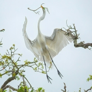 photo of Great Egret flying overhead with twig