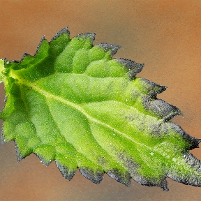 photo of Porterweed leaf at 2X