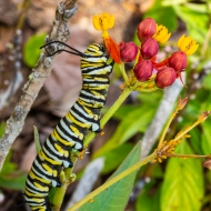 photo of Caterpillar on Butterfly Weed