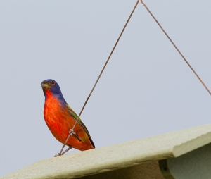 photo of Painted Bunting