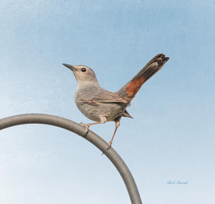 photo of Catbird