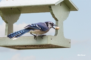 photo of Blue Jay with Peanut