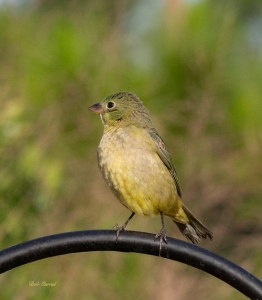 photo of Female Painted Bunting