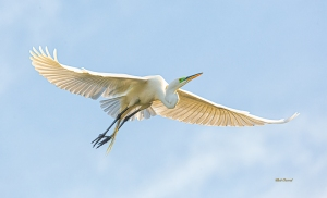 photo of Great Egret in Flight