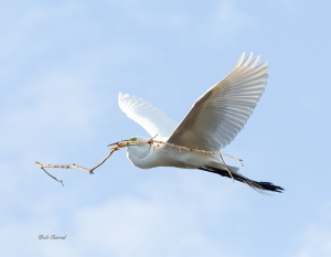 photo od Great Egret with Branch