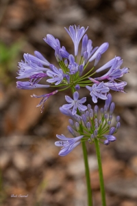 photo of Blue Flag Iris