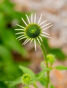 photo of Blooming Cone Flower
