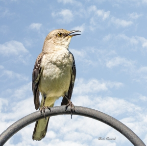 photo of Mocking Bird
