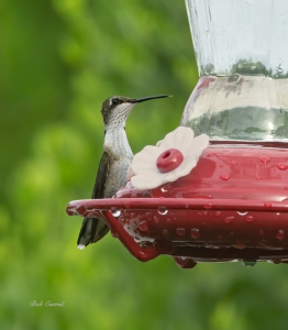 photo of Ruby Tharoated Hummingbird