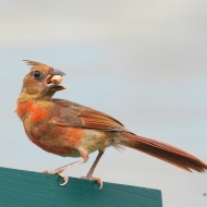 photo of Cardinal with Peanut