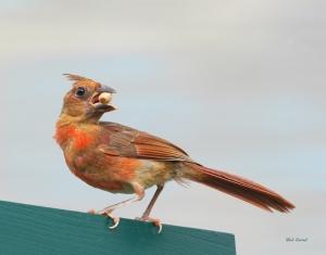 photo of Cardinal with Peanut
