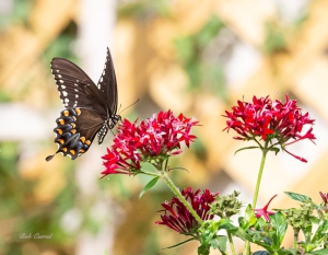 photo of Spicebush Swallowtail Butterfly