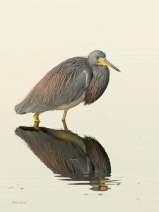 Photo of Tricolor Heron Wading at Dawn