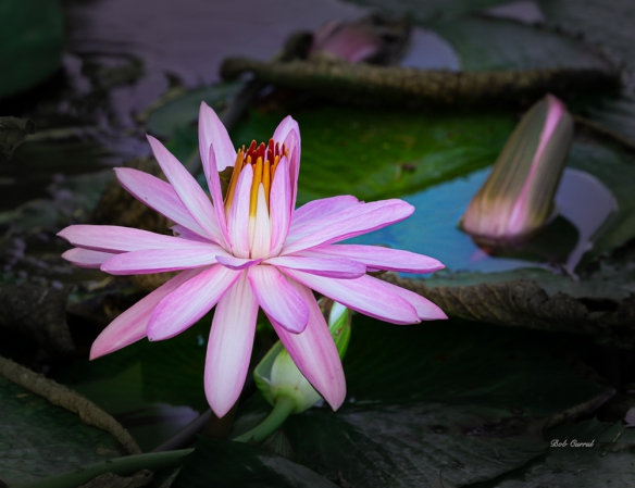 photo of Lavender Water Lilies