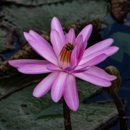 photo of Water Lily