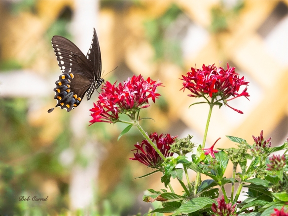 photo of Swallowtail on Pentas