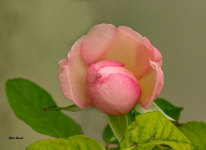 photograph of blooming rose